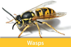 Information about wasps