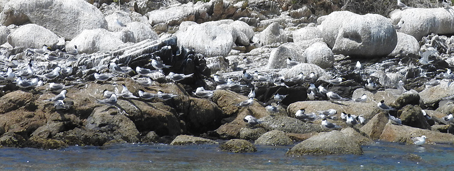 Crested Tern on rocks