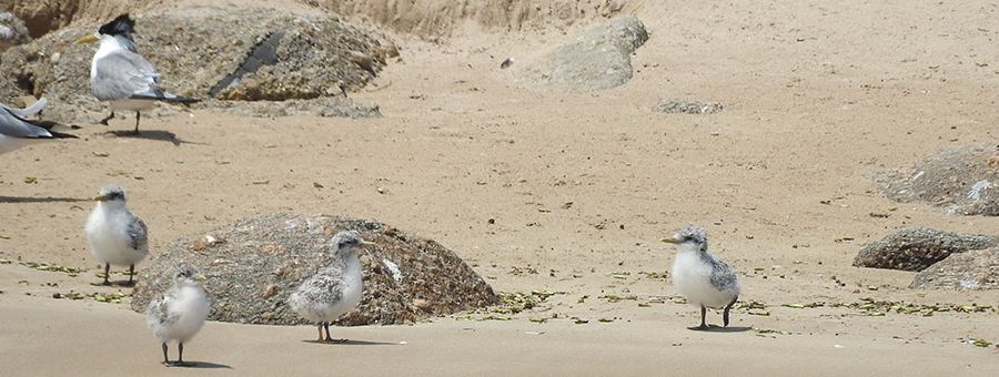 Crested Tern juveniles